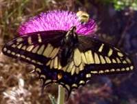 butterfly_bee_200px