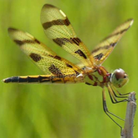 dragonfly_200px
